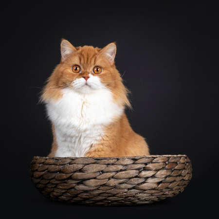 Adorable red with white British Longhair cat, sitting in brown bowl. Looking to camera with big orange eyes. Isolated on black background.