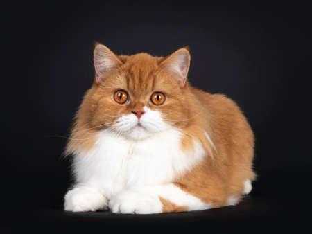 Adorable red with white British Longhair cat, laying down facing front. Looking to camera with big orange eyes. Isolated on black background. Banco de Imagens