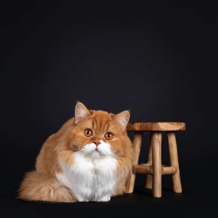 Adorable red with white British Longhair cat, laying down beside little wooden stooll. Looking to camera with big orange eyes. Isolated on black background.