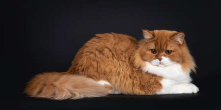 Adorable red with white British Longhair cat, laying down side ways Looking towards own tail with big orange eyes. Isolated on black background.