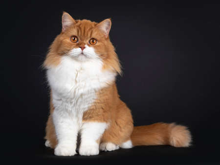 Adorable red with white British Longhair cat, sitting facing front. Looking to camera with big orange eyes. Isolated on black background. Banco de Imagens