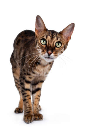 Cute F6 Savannah cat standing facing front. Looking curious at camera with green eyes and cute head tilt. Isolated on white background.