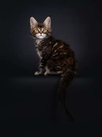 Beautifully marked marbled tortie Maine Coon cat kitten, sitting side ways on edge. Looking surprised towards camera with yellow eyes. Tail proud in air. Isolated on black background. Banco de Imagens
