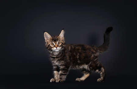 Beautifully marked marbled tortie Maine Coon cat kitten, standing side ways. Looking surprised towards camera with yellow eyes. Tail proud in air. Isolated on black background. Banco de Imagens
