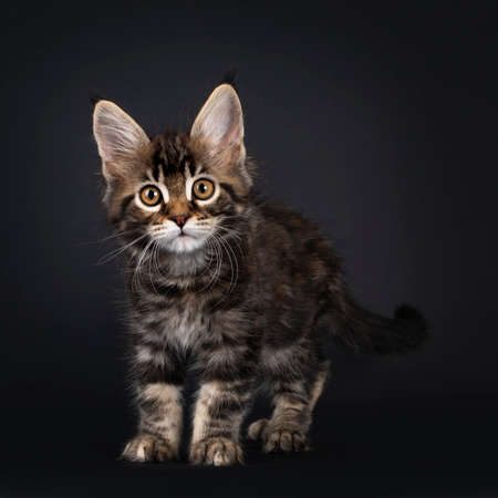Beautifully marked marbled tortie Maine Coon cat kitten, standing facing front. Looking curious towards camera with yellow eyes. Isolated on black background. Banco de Imagens