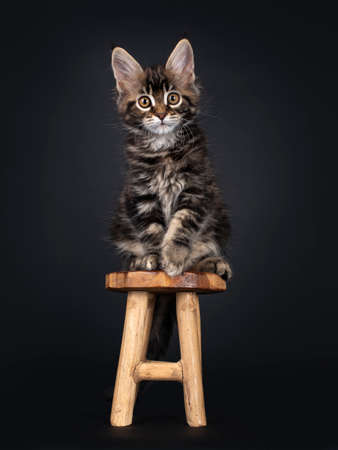 Beautifully marked marbled tortie Maine Coon cat kitten, sitting facing front on little wooden stool. Looking towards camera with yellow eyes. Isolated on black background.
