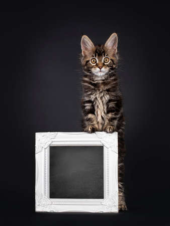 Beautifully marked marbled tortie Maine Coon cat kitten, standing behind a with blackboard filled picture frame. Looking towards camera with yellow eyes. Isolated on black background.