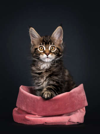 Beautifully marked marbled tortie Maine Coon cat kitten, sitting facing front in pink velvet bag. Looking towards camera with yellow eyes. Isolated on black background.