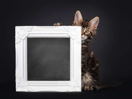 Beautifully marked marbled tortie Maine Coon cat kitten, looking from behind a with blackboard filled picture frame. Looking towards camera with yellow eyes. Isolated on black background.