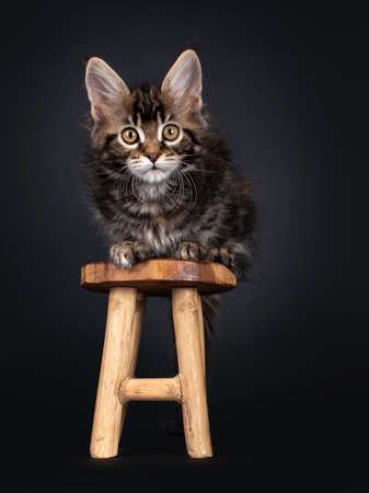 Beautifully marked marbled tortie Maine Coon cat kitten, laying facing front on little wooden stool. Looking towards camera with yellow eyes. Isolated on black background.