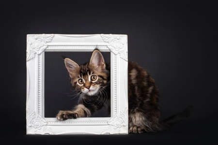 Beautifully marked marbled tortie Maine Coon cat kitten, peeping through white picture frame. Looking towards camera with yellow eyes. Isolated on black background.