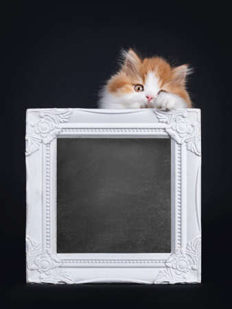 Cute red with white British Longhar kitten, standing behind white photo frame. Looking straight at camera. Isolated on black background.