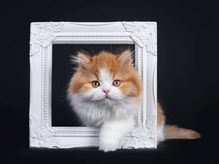 Cute red with white British Longhar kitten, stepping through white photo frame. Looking straight at camera. Isolated on black background. Banco de Imagens
