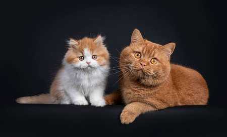 Cute red with white British Longhar kitten, sitting beside adult red British Shorthair. Looking straight at camera. Isolated on black background.
