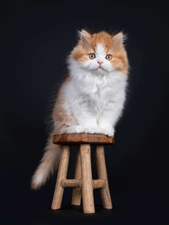 Cute red with white British Longhar kitten, sitting on little wooden stool. Looking straight at camera. Isolated on black background. Banco de Imagens