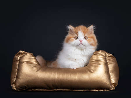 Cute red with white British Longhar kitten, sitting facing front in golden basket. Looking straight at camera. Isolated on black background. Banco de Imagens