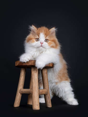 Cute red with white British Longhar kitten, standing with front paws on little wooden stool. Looking straight at camera. Isolated on black background.