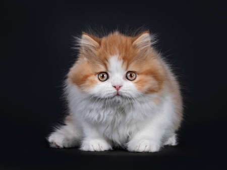 Cute red with white British Longhar kitten, standing facing front. Looking straight at camera. Isolated on black background. Banco de Imagens