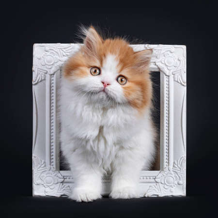 Cute red with white British Longhar kitten, standing through white photo frame. Looking straight at camera. Isolated on black background. Banco de Imagens