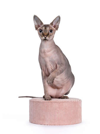 Cute Sphynx cat, sitting on pink round box. Looking beside camera with blue eyes. One paw playful in air. isolated on white background.