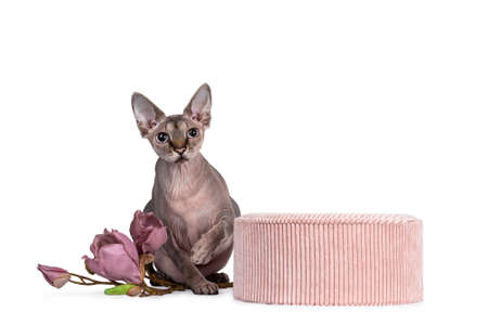 Cute Sphynx cat, sitting beside pink round box with fake magnolia flower branch. Looking at camera with blue eyes. One paw playful in air. isolated on white background.