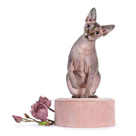 Cute Sphynx cat, sitting on pink round box with fake magnolia flower branch. Looking at camera with blue eyes. One paw playful in air. isolated on white background.
