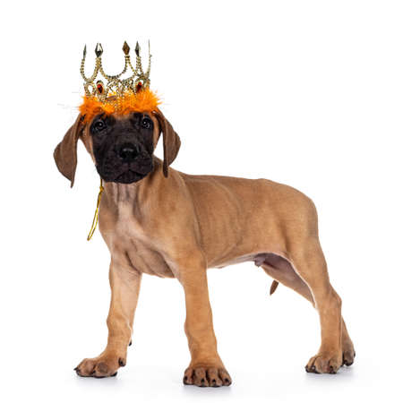 Handsome fawn / blond Great Dane puppy, standing side ways wearing golden with orange crown. Looking straight at lens with dark shiny eyes. Isolated on white background.