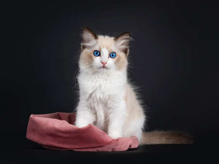 Impressive seal bicolor Ragdoll cat kitten, sitting half in pink velvet bag. Looking at camera with mesmerizing blue eyes. isolated on black background. Stock Photo
