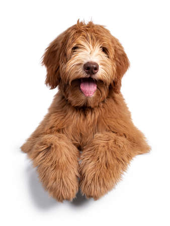 Fluffy caramel Australian Cobberdog, laying down facing front. Eyes not showing due long hair. Isolated on white background. Mouth open showing long tongue, paws over edge.