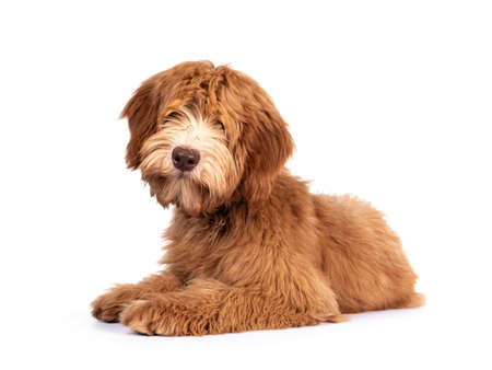Fluffy caramel Australian Cobberdog, laying down side ways. Eyes not showing due long hair. Isolated on white background. Mouth closed.