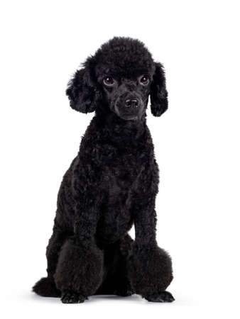 Cute black miniature poodle dog, sitting slightly turned. Looking straight ahead beside lens with shiny dark eyes. Isolated on white background.