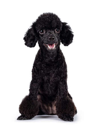 Cute black miniature poodle dog, sitting up facing front. Looking straight to camera. Isolated on white background. Mouth open. Stock fotó