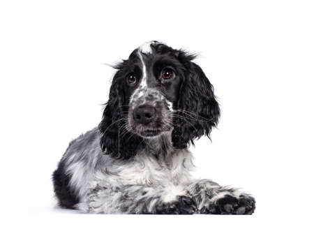 Cute young blue roan Cocker Spaniel dog / puppy, laying down side ways. Looking beside camera with dark brown eyes. Isolated on white background.