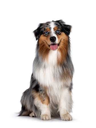 Handsome and well groomed Australian Shepherd dog, sitting up straigth facing front view. Looking towards camera with light blue eyes. Isolated on white background. Mouth open, tongue out.