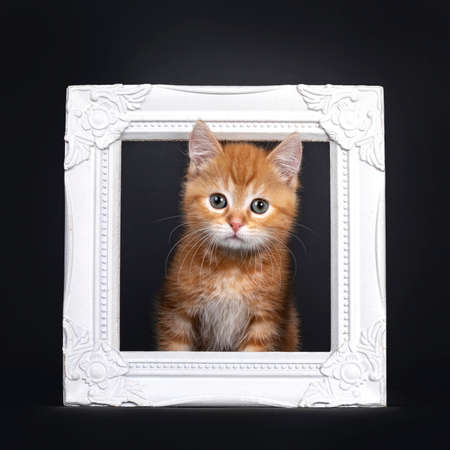 Cute little red shorhair kitten, sitting with head through white photo frame. Looking straight at camera with greenish eyes. Isolated on black background.