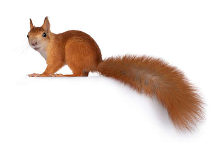 Red Japanese Lis squirrel, standing side ways. Looking towards camera showing both eyes. Long tail hanging down from edge. Isolated on white background.