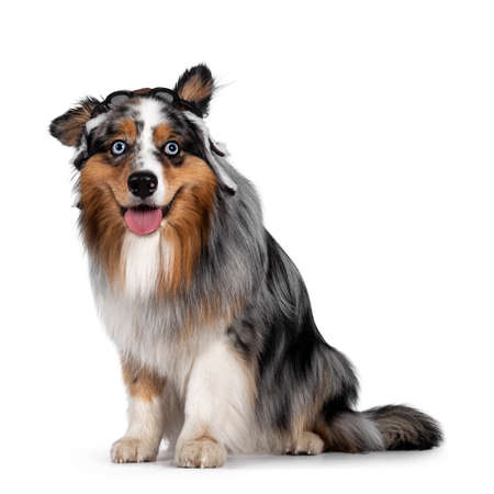 Funny shot of handsome and well groomed Australian Shepherd dog, sitting up side ways wearing pilot hat. Looking towards camera with light blue eyes. Isolated on white background. Mouth open, tongue out.
