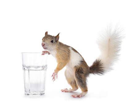 Male Japanese Lis squirrel in varied colors, standing beside glass of white water. Looking at camera. Isolated on white background.
