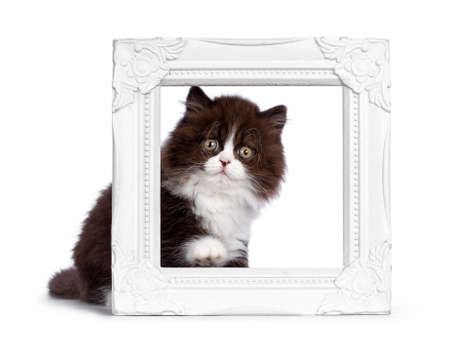 Adorable brown with white fluffy British Longhair cat kitten, sitting behind white photo frame. Looking at camera with round eyes. Isolated on white background.