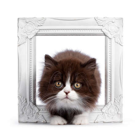 Adorable brown with white fluffy British Longhair cat kitten, standing through white photo frame. Looking at camera with round eyes. Isolated on white background. Stock fotó