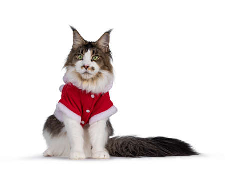 Cute Maine Coon cat, sitting up facing front, wearing red santa jacket. Isolated on white background. Foto de archivo