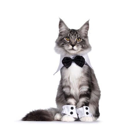Handsome black tabby silver Maine cat, wearing bow tie around neck and cuffs around paws. Sitting up facing camera. isolated on white background.