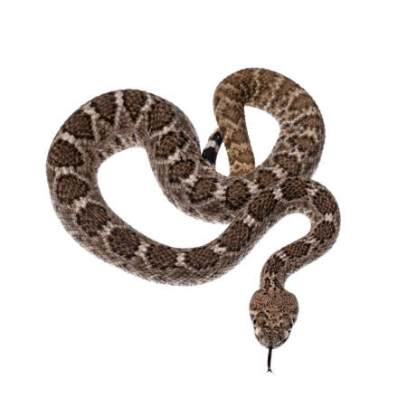 Top view of young Daimondback rattlesnake aka Crotalus atrox snake. Isolated on white background. Stock Photo
