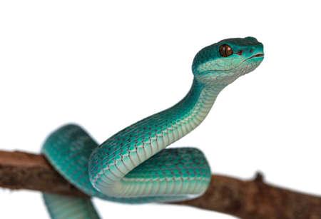 Baby male Blue white lipped pitviper aka Trimeresurus insularis snake, curled around wooden branch. Isolated on white background.