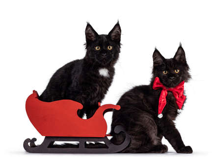 Duo of 2 black Maine Coon cat kittens sitting on and in front of red christmas sleigh. Isolated on white background. 版權商用圖片