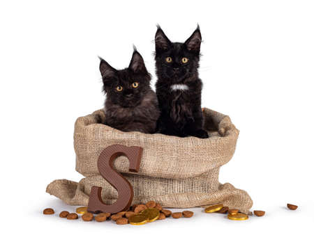 Duo of 2 black Maine Coon cat kittens sitting in 'Sinterklaas bag' with typical Dutch treats. Isolated on white background.