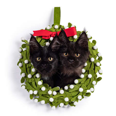 Duo of 2 black Maine Coon cat kittens sitting with their heads through a green felt christmas wrath. Isolated on white background. 版權商用圖片