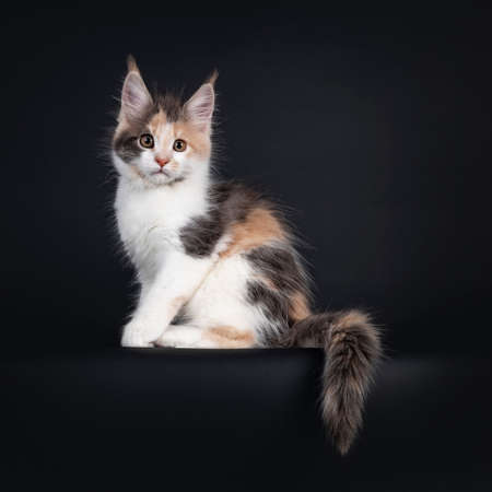 Cute little tortie Maine Coon cat kitten, sitting side ways on edge. Looking towards camera. Isolated on a black background.
