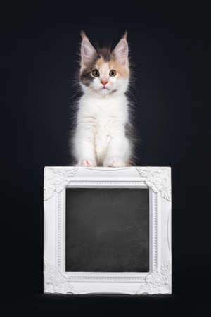 Cute little tortie Maine Coon cat kitten, standing behind with blackboard filled white photo frame. Looking towards camera. Isolated on a black background.