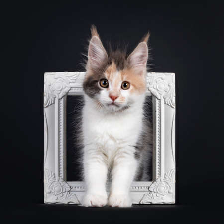 Cute little tortie Maine Coon cat kitten, standing through white photo frame. Looking towards camera. Isolated on a black background. 版權商用圖片